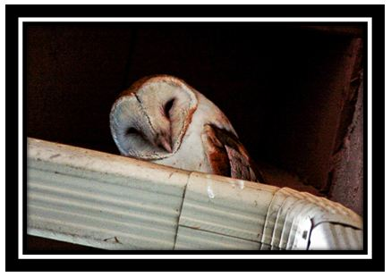 Barn owl in the roof eaves