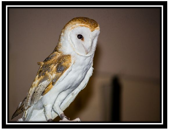 Out & About San Diego — #2: Barn owls | Russel Ray Photos
