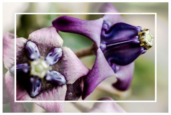 Flower of the California milkweed