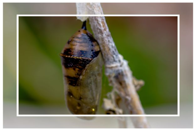 Monarch caterpillar chrysalis, September 2011, San Diego