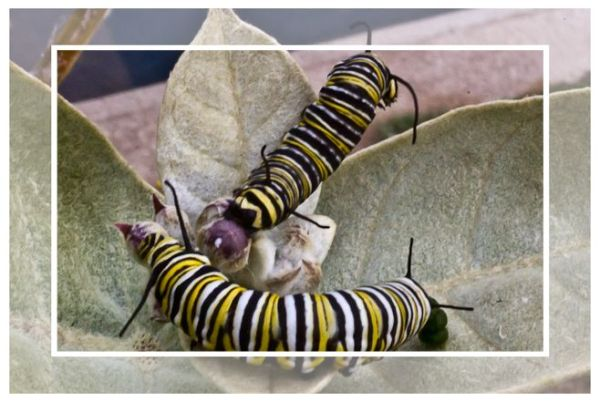 Monarch caterpillars, September 2011, San Diego