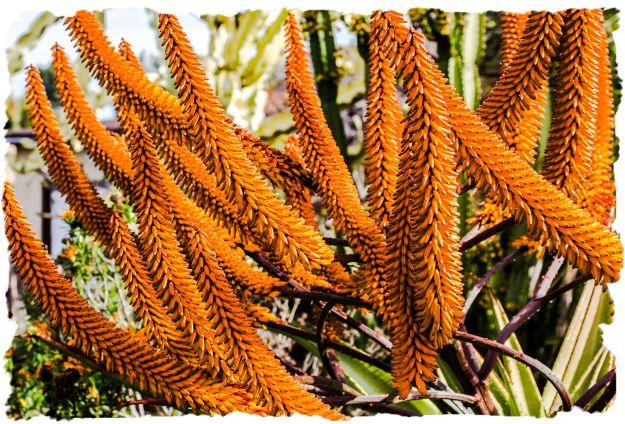 Aloe growing in La Mesa, California, January 24, 2012