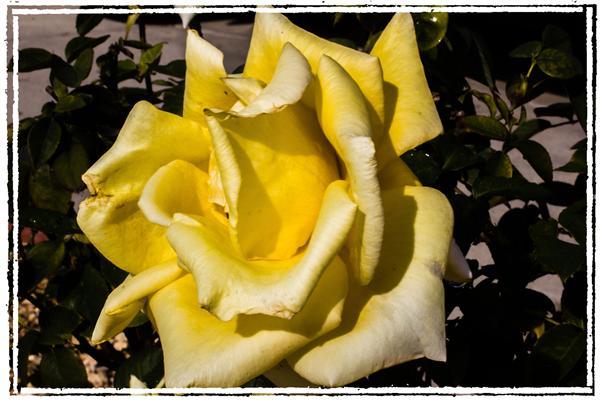 Rose in La Mesa, California, on January 23, 2012