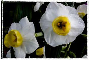 Daffodil in La Mesa, California, on January 23, 2012