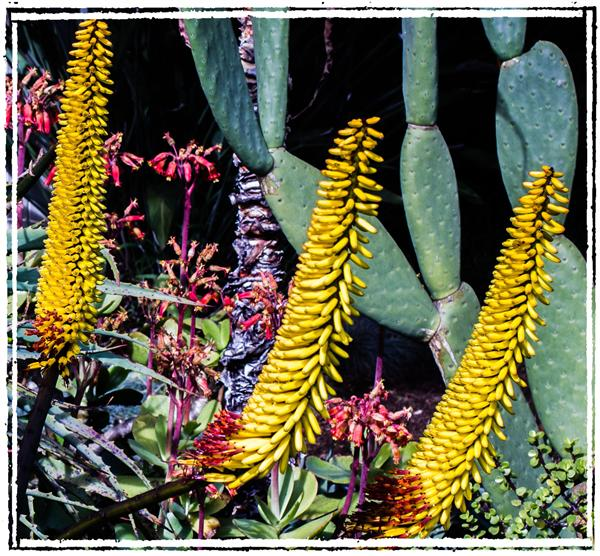 Aloe in La Mesa, California, on January 23, 2012