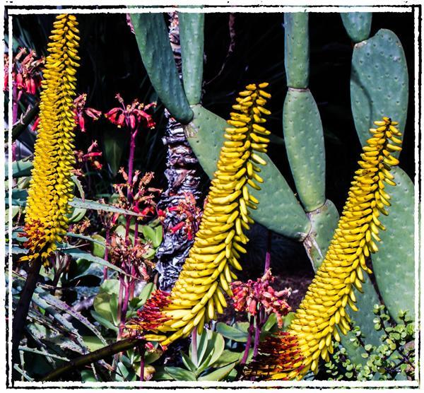 Aloe in La Mesa, California, on January 23, 2012