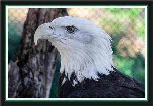 Bald eagle at the San Diego Zoo's Safari Park