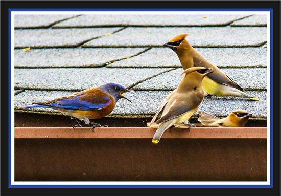 Bluebird and three cedar waxwings