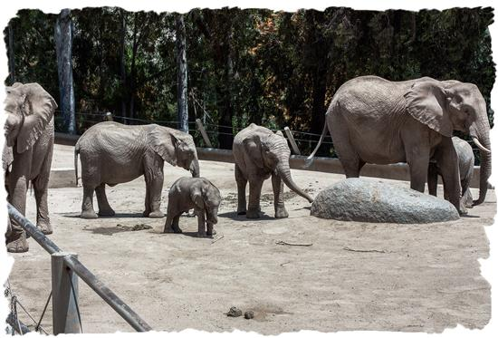 Young African elephants at the San Diego Zoo's Safari Park