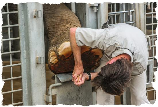 Elephant getting a pedicure at the San Diego Zoo