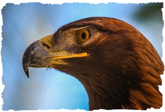 Golden eagle Ambassador at the San Diego Zoo's Safari Park