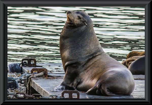 Sea lion in San Diego Bay near the submarine base