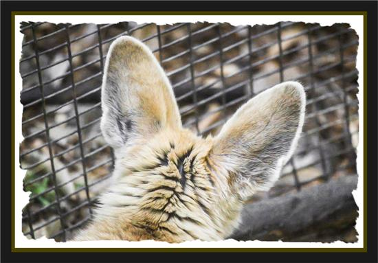 Fennec fox at the San Diego Zoo