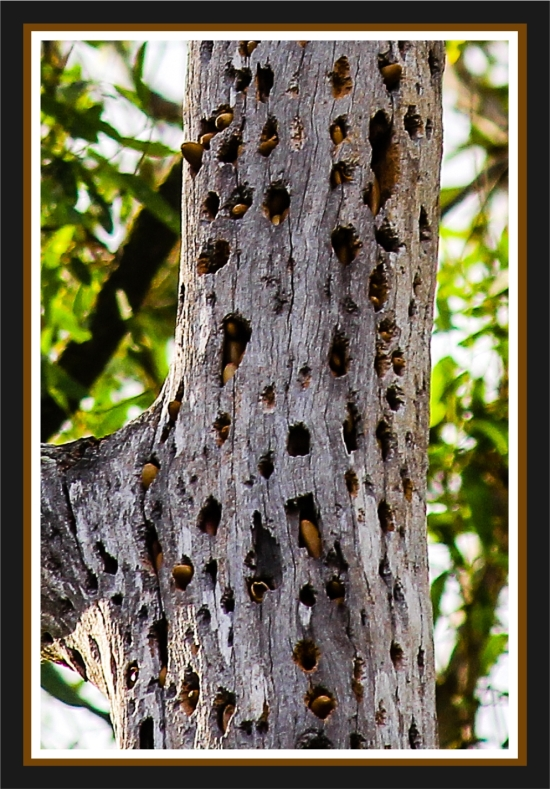Granary tree for acorn woodpeckers