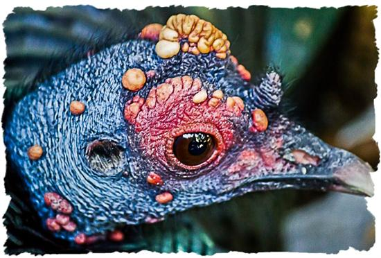 Ocellated turkey at the San Diego Zoo