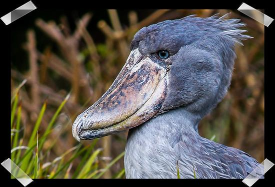 Shoebill at the San Diego Zoo's Safari Park
