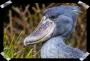 The shoebill: Some birds just look weird