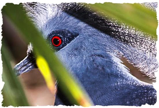 Victoria crowned pigeon at the San Diego Zoo