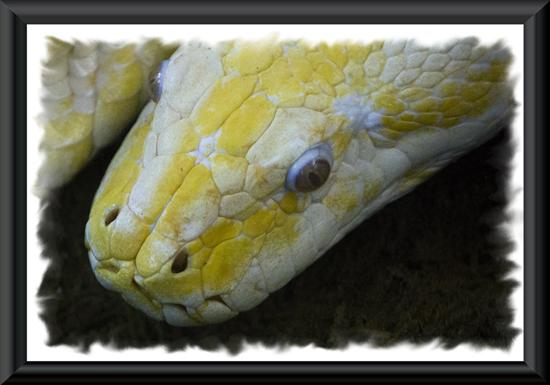 Albino burmese python at the San Diego Zoo