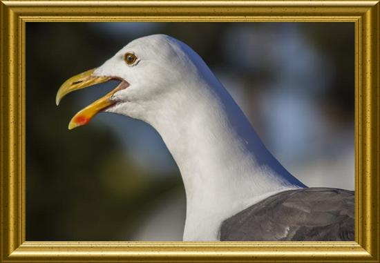 California gull having his say