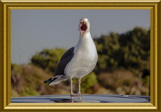 California gull having his say