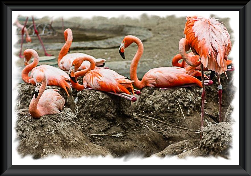 Flamingo Nests Flamingo nests at the ...