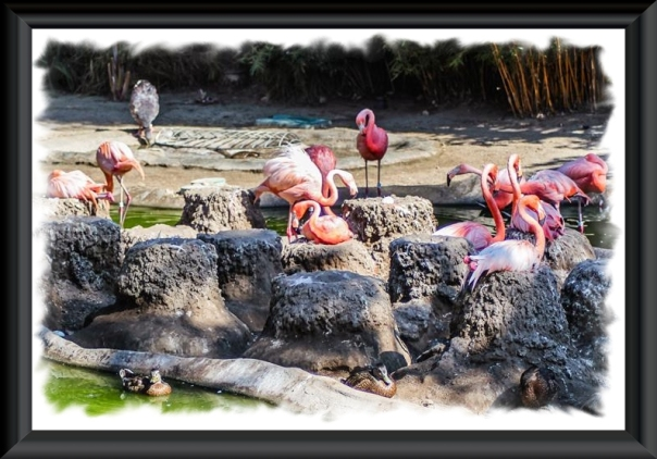Flamingo nests at the San Diego Zoo