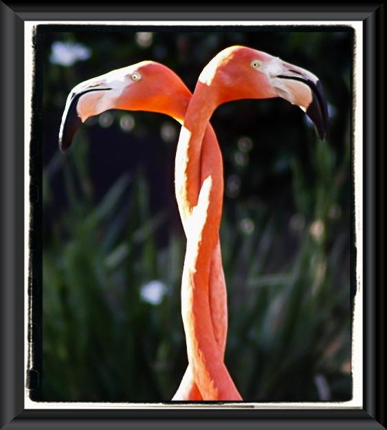 Necking flamingos at the San Diego Zoo