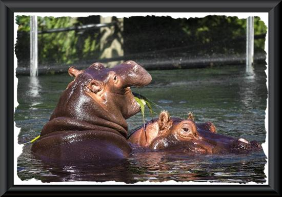 Hippopotamuses at the San Diego Zoo
