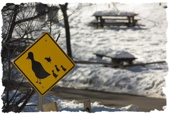 Duck crossing in San Diego County, California