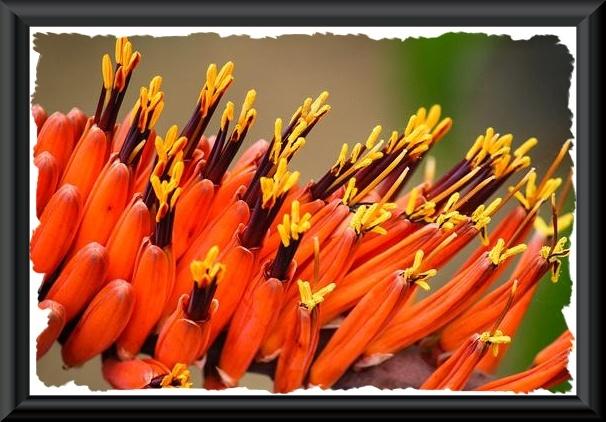Orange aloe