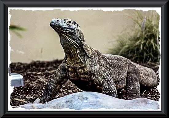 Komodo dragon at the San Diego Zoo