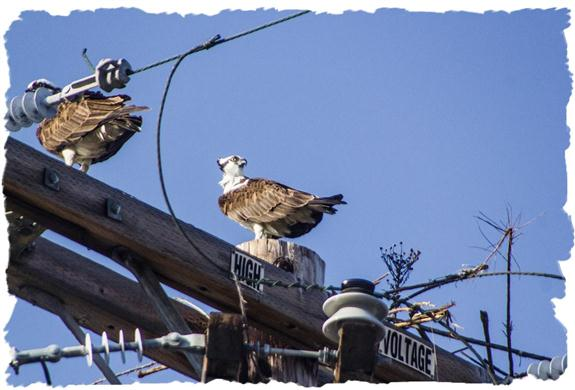 Nest-building ospreys