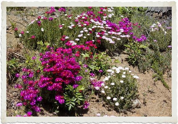 Purple ice plant