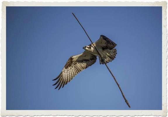 Nest-building osprey