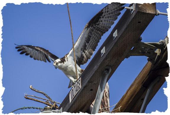 Nest-building osprey