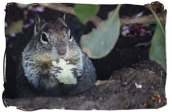 Ground squirrel munching down at Lake Murray in La Mesa, California