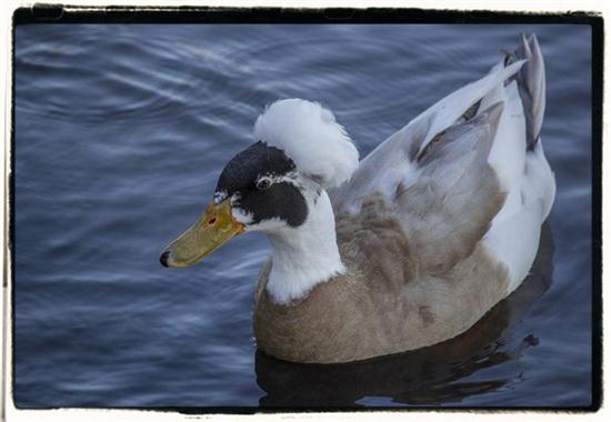 Cotton-top duck