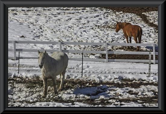 Horses in a snowy field