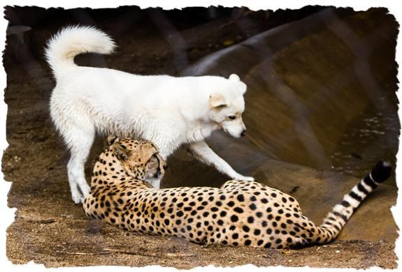 Bakka and Miley, cheetah and dog, at the San Diego Zoo