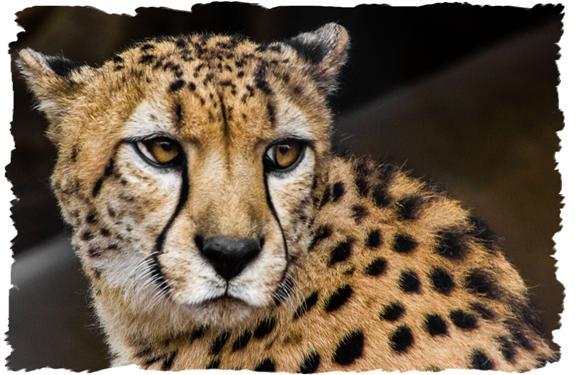 Bakka, cheetah ambassador of the San Diego Zoo