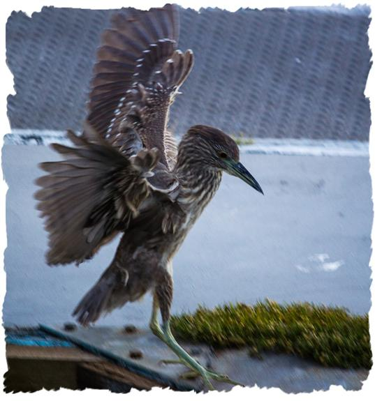 Juvenile black-crowned night heron practicing flying
