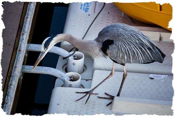 Great blue heron scouring the docks for leftover fish