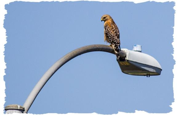 Red-shouldered hawk (?) on a light pole