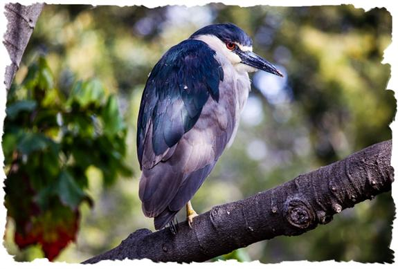 Black-crowned night heron wondering where the night's going