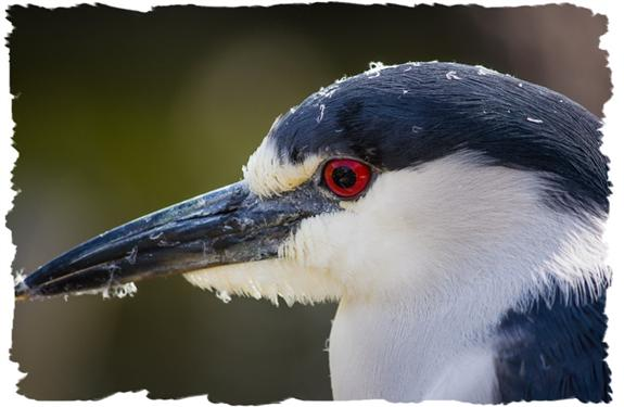 Black-crowned night heron close-up