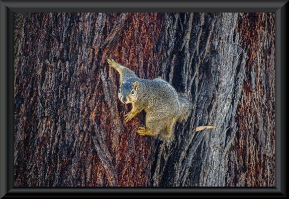 Squirrel on a eucalyptus tree