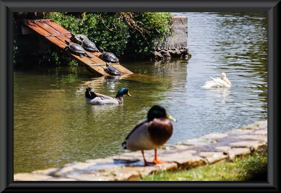 Mallards, a snow goose, and turtles