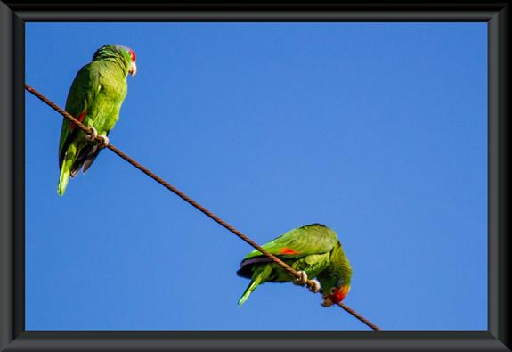 Red-crowned parrot (Amazona viridigenalis)