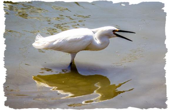 Great egret fishing for breakfast